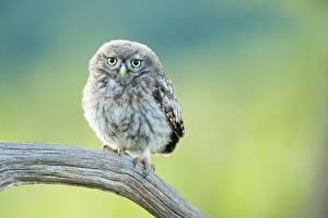 Fotos Eulen Vögel Starren Ast Tiere