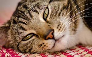Images Cats Eyes Whiskers Snout Staring Nose Animals
