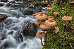 Bilder Pilze Natur Laubmoose Bäche HDR Kuehneromyces mutabilis