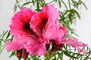 Fotos Geranien Großansicht Rosa Farbe Blumen