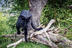 Hintergrundbilder Schwarzer Panther Große Katze Ast Tiere