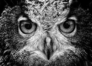 Picture Owls Bird Eyes Staring Beak animal