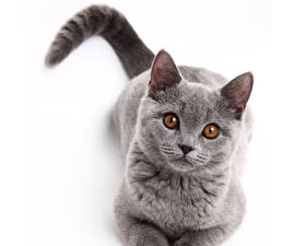 Pictures Cats Eyes Grey Staring animal