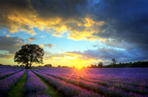 Bilder Landschaftsfotografie Felder Morgendämmerung und Sonnenuntergang Himmel Lavendel Bäume Wolke Lichtstrahl Natur Blumen