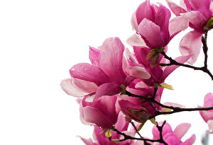 Hintergrundbilder Magnolien Rosa Farbe Ast Weißer hintergrund Blumen