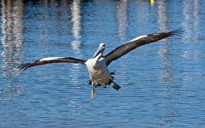 Fotos Pelikane Vögel Wasser Flügel Flug
