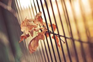 Hintergrundbilder Nahaufnahme Eichen Blattwerk Zaun