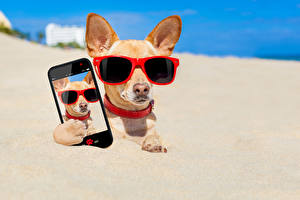 Pictures Dog Chihuahua Glasses Smartphone Sand Selfie animal