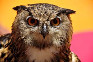 Pictures Owls Bird Eyes Glance Animals