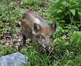 Pictures Wild swine Grass