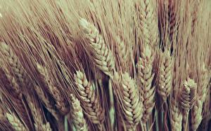 Hintergrundbilder Großansicht Viel Weizen Ähre