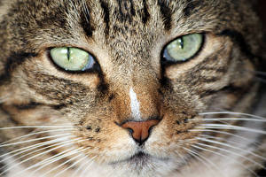 Wallpaper Cat Eyes Closeup Glance Whiskers Snout Nose animal