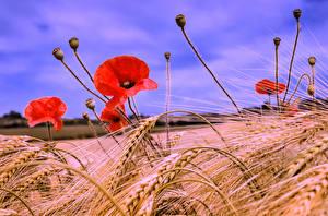 Fotos Felder Mohn Großansicht Weizen Ähre Blumen
