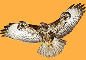 Hintergrundbilder Vogel Vektorgrafik Falken Gezeichnet Tiere