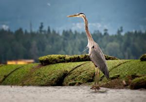 Hintergrundbilder Reiher Vogel