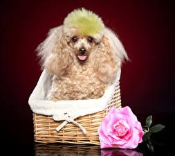 Fotos Hunde Rosen Pudel Weidenkorb Tiere