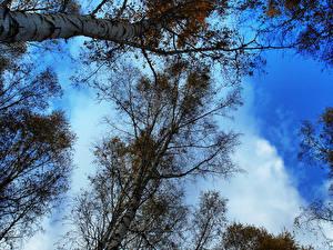 Hintergrundbilder Himmel Bäume Birken Ast Natur