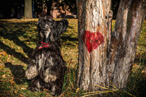 Hintergrundbilder Hunde Chinese Crested Herz 1ZOOM ein Tier