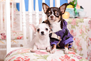Image Dogs Chihuahua 2 Staring animal