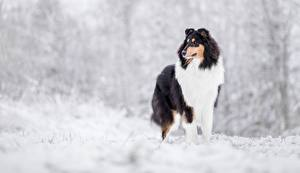 Image Winter Dogs Collie
