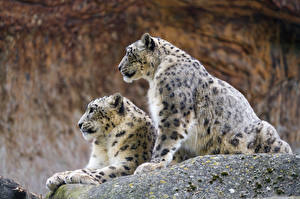 Photo Snow leopards Two Animals