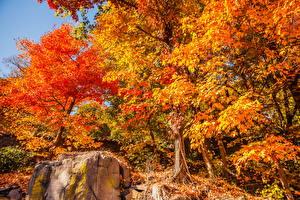 Desktop wallpapers Seasons Autumn Trees Foliage Orange Nature