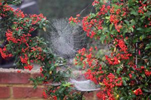 Bakgrunnsbilder Bær Edderkoppsilke Busker Natur
