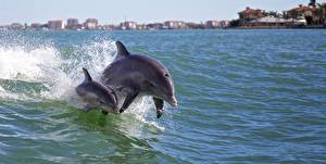 Pictures Dolphins Water Water splash Two Swims animal