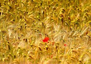 Bilder Acker Mohn Weizen Ähre Blumen