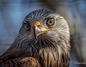 Wallpapers Bird Eagle Beak Glance Animals