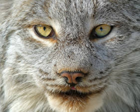 Picture Lynx Eyes Snout Staring Nose Animals