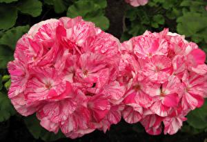 Hintergrundbilder Geranien Hautnah Rosa Farbe 2 Blumen