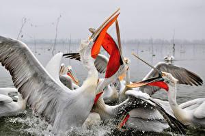 Hintergrundbilder Pelikane Vogel Schnabel