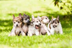 Hintergrundbilder Hunde Welpen Chinese Crested