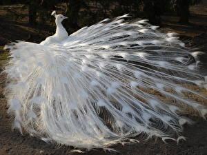 Fotos Pfauen Vögel Federn Weiß