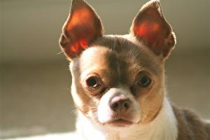 Pictures Dogs Chihuahua Snout Glance Animals