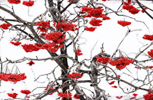 Bilder Beere Winter Ast Rot Natur