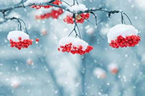 Bilder Winter Beere Eberesche Schnee Ast Natur