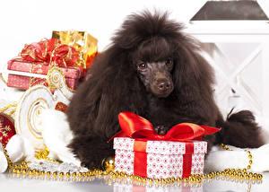 Fotos Hunde Pudel Geschenke Schachtel Schleife Schwarz