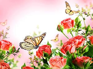 Fotos Rose Schmetterling Hautnah Monarchfalter Rot Blumen