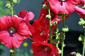 Bilder Malven Großansicht Rot Blüte