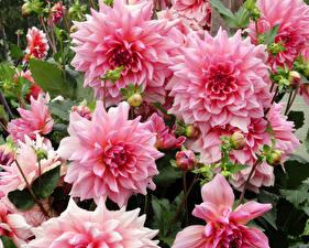 Hintergrundbilder Georginen Nahaufnahme Rosa Farbe Blumen