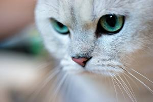Wallpapers Eyes Closeup Staring Whiskers Nose Animals