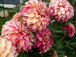 Hintergrundbilder Georginen Nahaufnahme Blüte