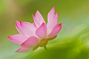 Hintergrundbilder Lotosblume Großansicht Rosa Farbe Blüte