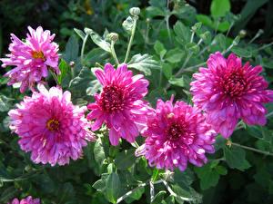 Hintergrundbilder Dahlien Hautnah Rosa Farbe Blumen