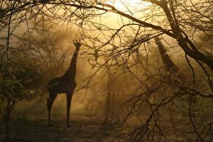 Fotos Giraffe Nebel Silhouette Bäume Ast Tiere