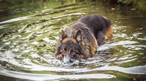 Fotos Hunde Wasser Shepherd Schwimmt Tiere