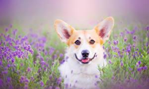 Hintergrundbilder Hund Welsh Corgi Blick