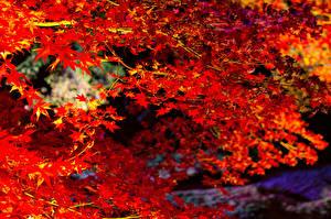 Bilder Herbst Ast Ahorne Rot Natur